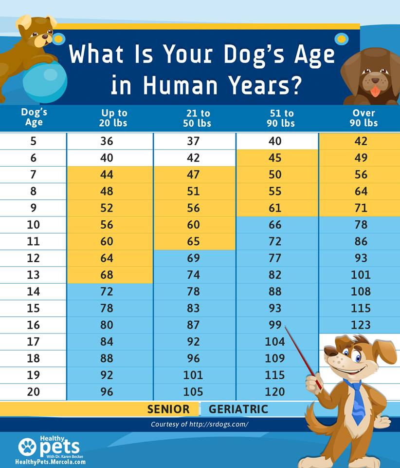 senior hond